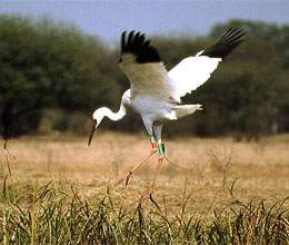 migratory birds came before time in keoladeo park