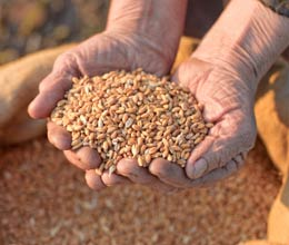 increase of rs 65 in msp of wheat farmers angry