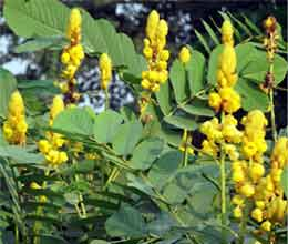 foreign herbal plant found in lakhmipur
