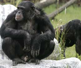 human disease in chimpanzee