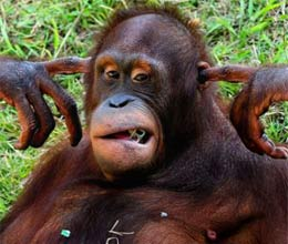 orangutan who fed up with noise put finger in his ear