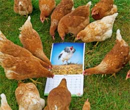 cockerels poses in calendar to make hens feel calmer