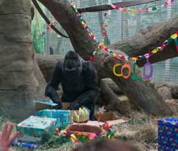 colo the gorilla celebrates her 56th birthday at columbus zoo