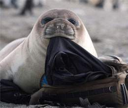 seal is caught on camera trying to swipe tourist wetsuit