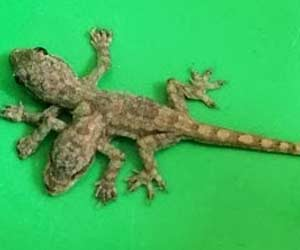 2-Headed, 6-Legged Baby Lizard Found In Thailand