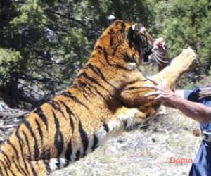 terror of tiger in up