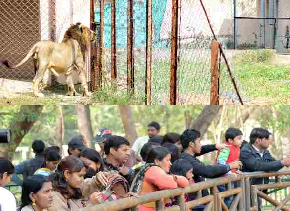 lion at lucknow zoo