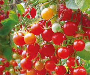 New tomato variety that yields 19 kg a plant