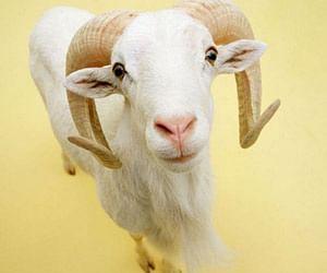 Goat Sell On Olx  - Olx पर लगी कुर्बानी के