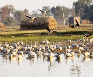 siberian birds did not reached rs pura wet land