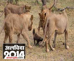 Lions Got Bullied By Other Animals Hindi News, Lions Got