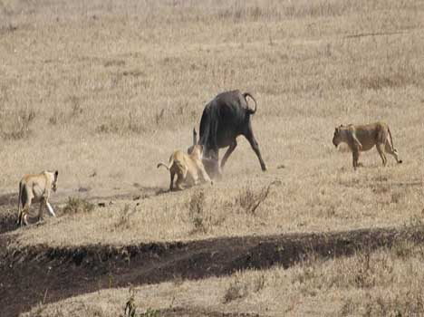 moment when buffalo takes charge of three lions