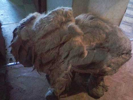 dog overburdened with its own fur