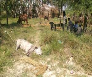 More than 44 lakh animals get killed in UP.