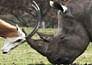 antelope rhino fight