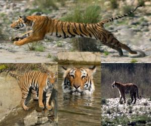 tiger special photos from corbett reserve.