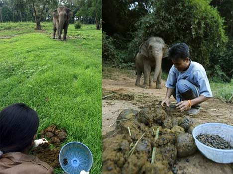 most expensive coffee comes from elephant dung