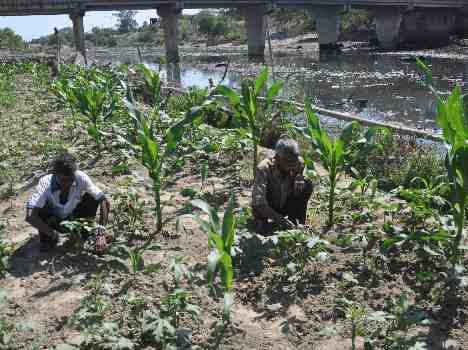 vegetables are grow in severage water