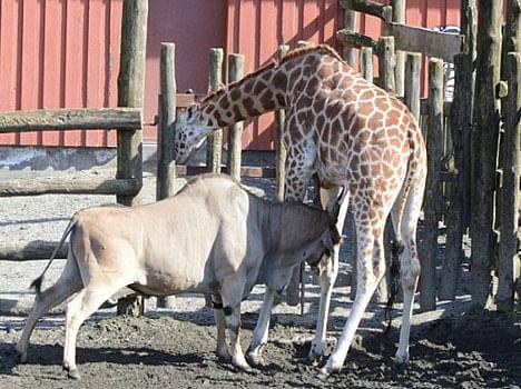 giraffe gored by antelope