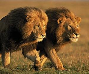 Modi government is considering to make lion India