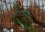 female parrot lays eggs without partner