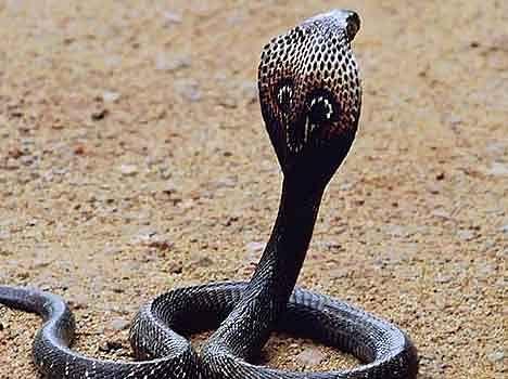 Image result for काला सांप