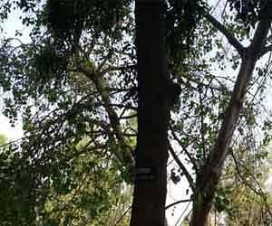 Putrjivak Trees have stood in Bijnor.