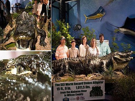 worlds largest alligator caught