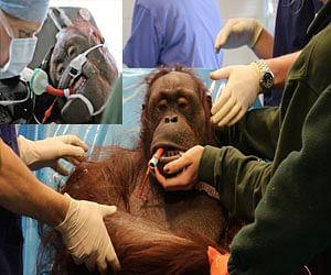 orangutan gets a life saving surgery