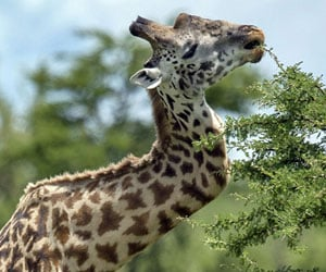 giraffe with a crooked neck