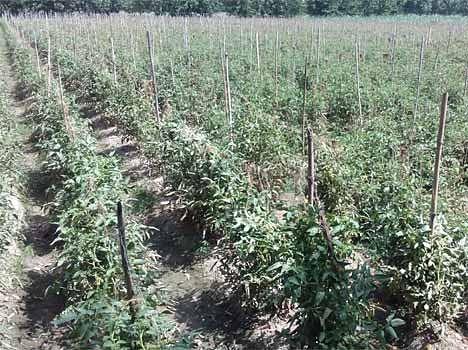 salarpur khalsa village made tomato belt in up
