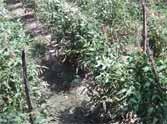 salarpur khalsa village made tomato belt in up