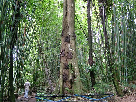 TREE GRAVE OF INDONESIA WHERE INFANTS ARE BURIED