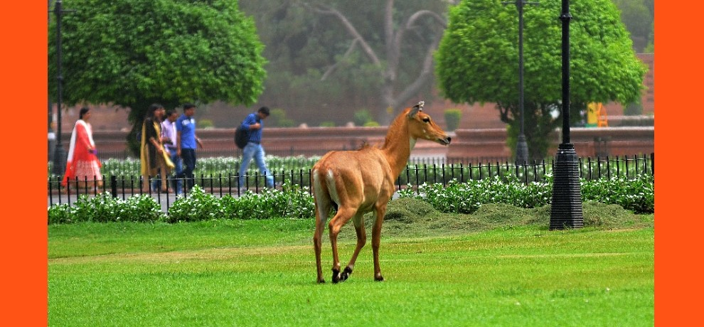 a nilgay seen in vijay chowk area, forest officials are expected soon