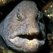 weird fish found in japan after fukushima disaster