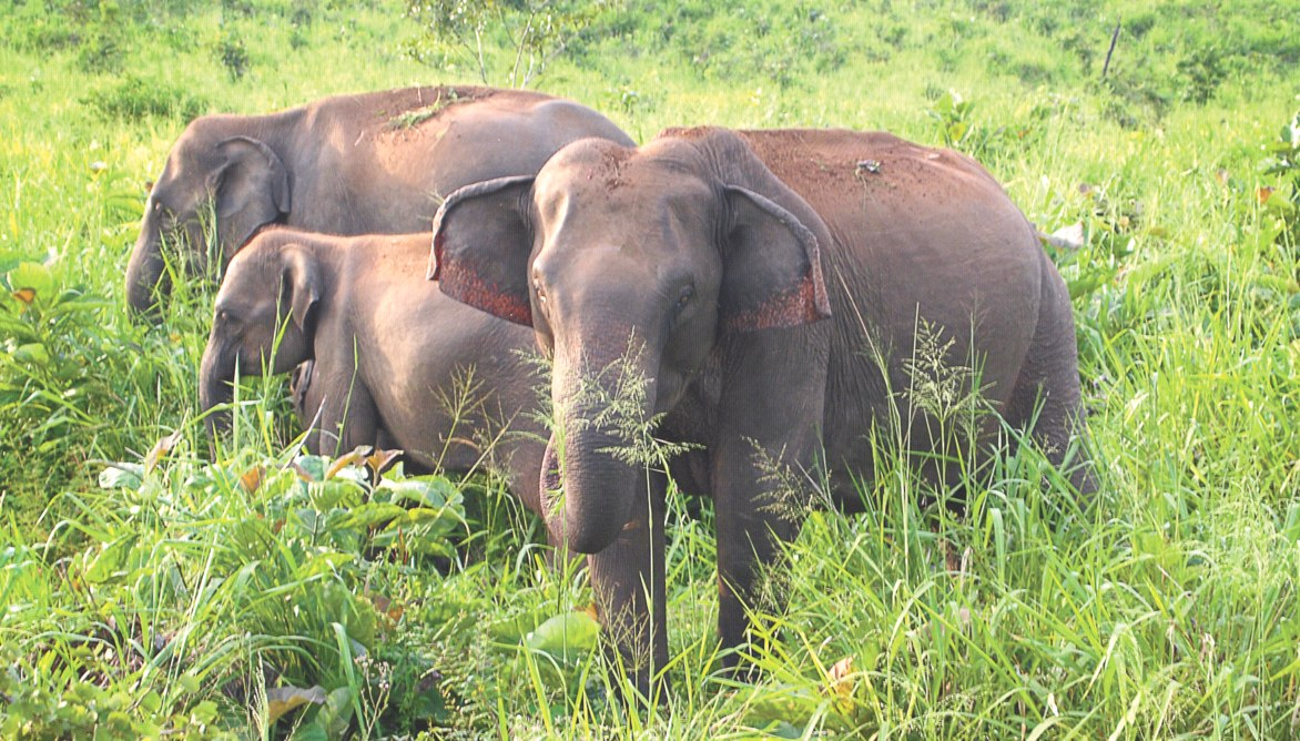 लकड़ी बीनने जंगल गई महिला को हाथियों के झुंड ने कुचला