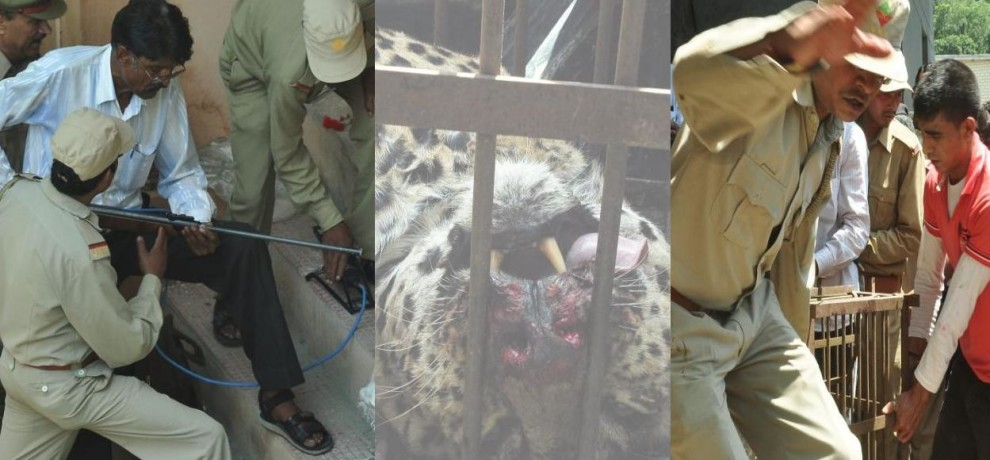 leopard caught by villagers and forest team.