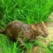 wounded leopard found in farmland