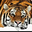World Tiger Day: Only 1700 Tiger are alive in India
