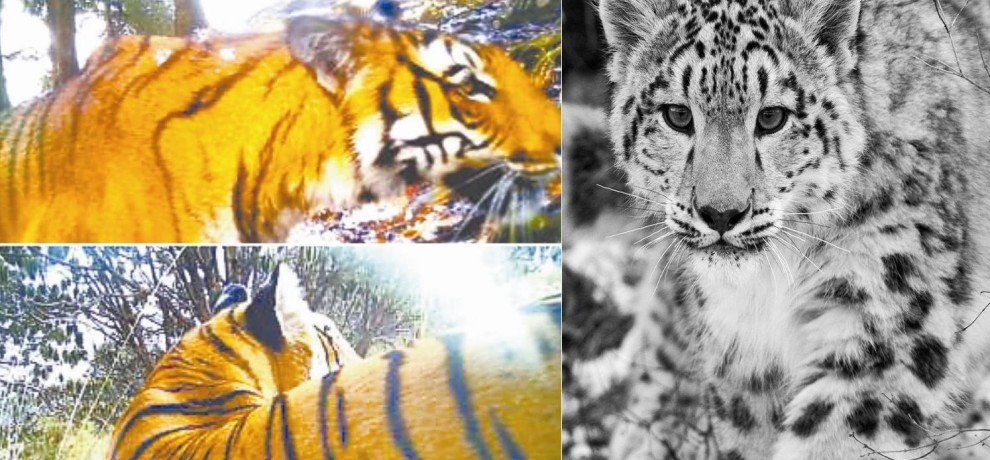 tiger found on 14 thousands feet, highest living in himalaya.