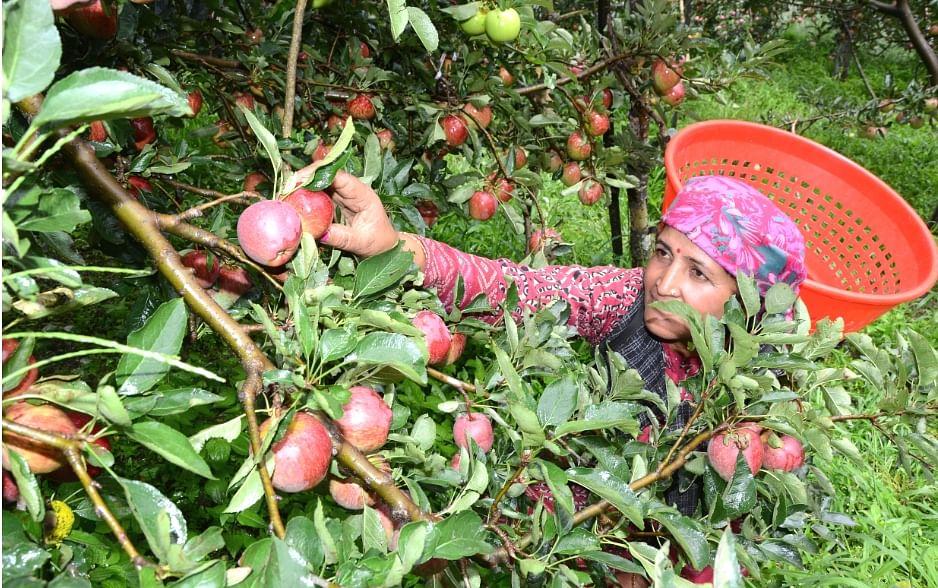 Apple Garden In Shimla Hindi News, Apple Garden In Shimla News In ...
