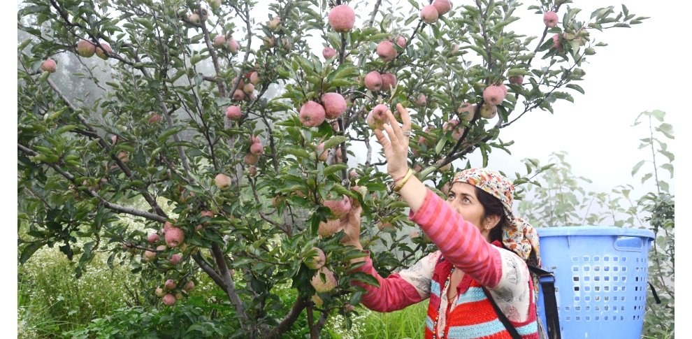 1000 crore rupee loss to apple growers in himachal