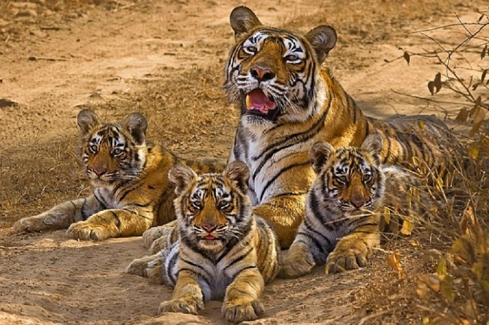 Tigress seen with cubs in Basantapur