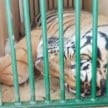 tiger Accused of killing four man, death penalty was replaced by life imprisonment