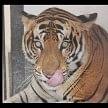 Man-eating tigress reached Gorakhpur, the villagers panic