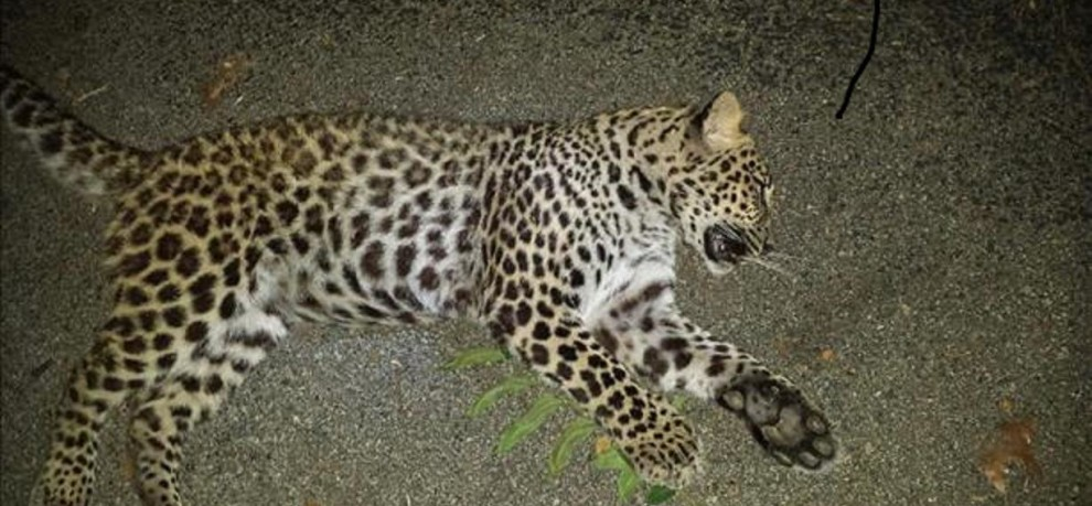 leopard hanging on tree at mirthi forest, death