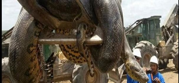 Construction workers discover 10m anaconda on Brazilian building site