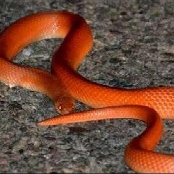 very rare red coral khukhri snake found in uttarakhand