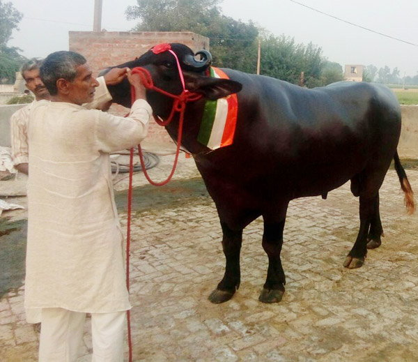 Murrah Buffalo Shahenshah Of 25 Crores In Panipat Of Haryana