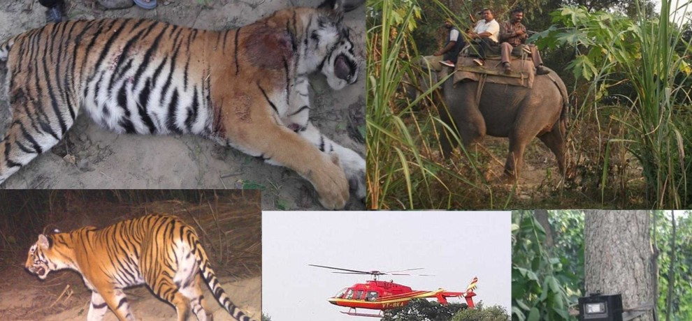 man eater tigress hunted in ramnagar.